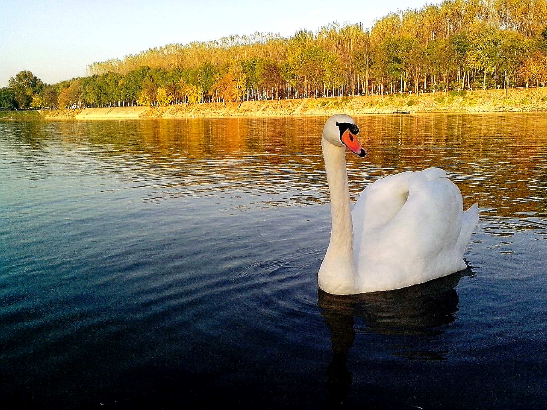 Free photograph; beautiful, white, swan, bird, posing
