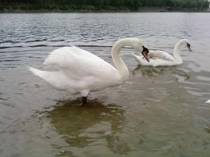 big, swan