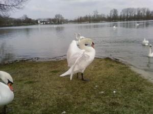 μεγάλο, λευκό κύκνο, τέντωμα, φτερά
