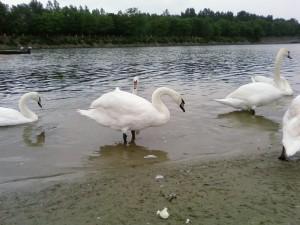 les oiseaux, les cygnes, l'eau