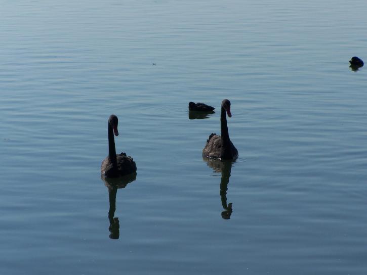 black, swans, cygnus atratus