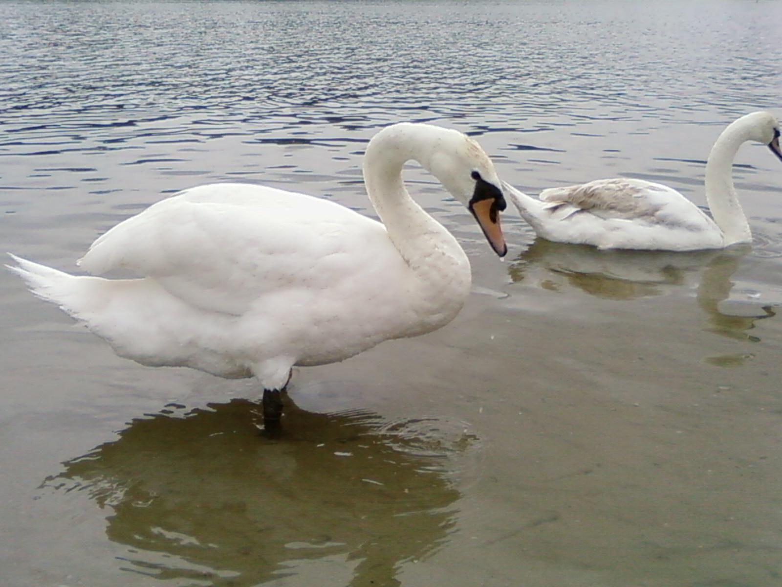 8 ίντσες μεγάλο πουλί