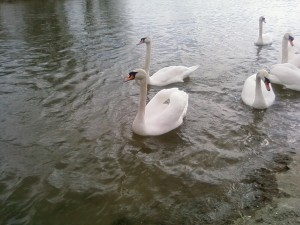 Dunaj, ptaki, swans