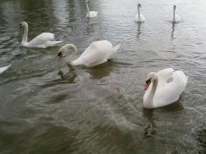 groupe, cygnes, Danube