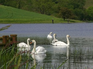 lakes, swans, fishing