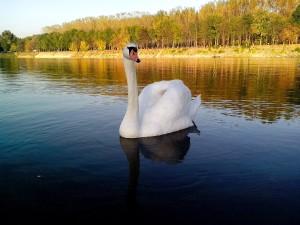 paysage, cygne, flotter, lac