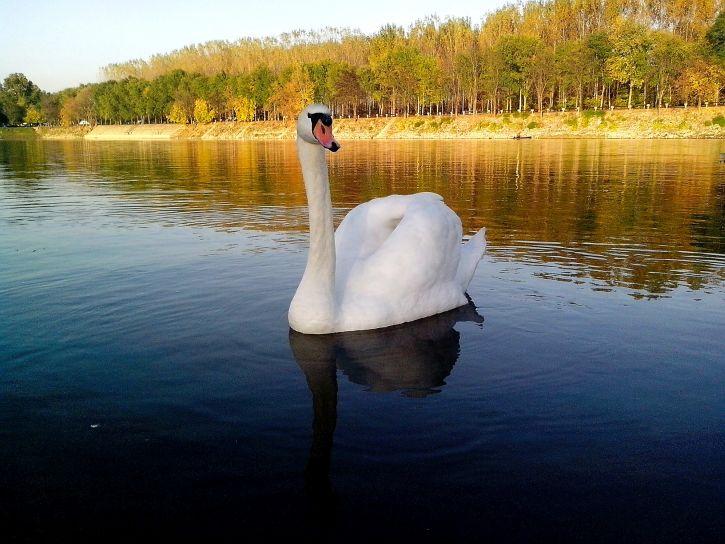landscape, swan, floating, lake