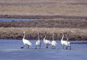 grote, noordelijke halfrond, wilde zwaan, vogels, cygnus cygnus