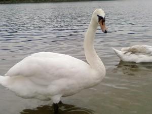 male, swan, bird