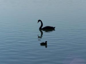 mirrored, swan, bird