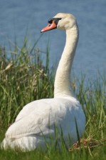mute, swan, up-close, grass, bird, cygnus, olor