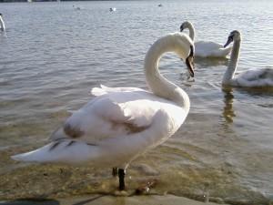olor, vogel, vogels, swan