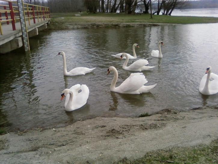 zeven, jonge, witte zwanen, vogel, lake