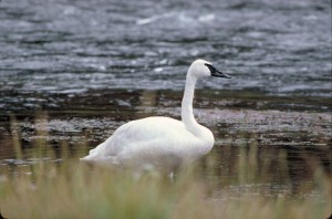 single, swan, bird, cygnus, buccinator, standing, shore, icy, water