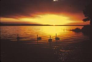 sunset, swans