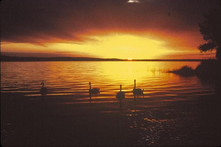zonsondergang, zwanen