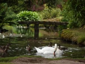 zwaan, eenden, lake
