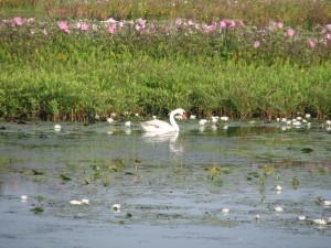swan, water, lilies, lake