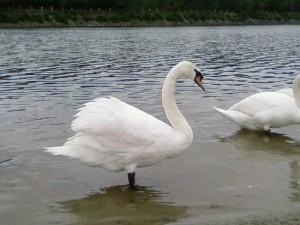 swan, beautiful, wallpaper
