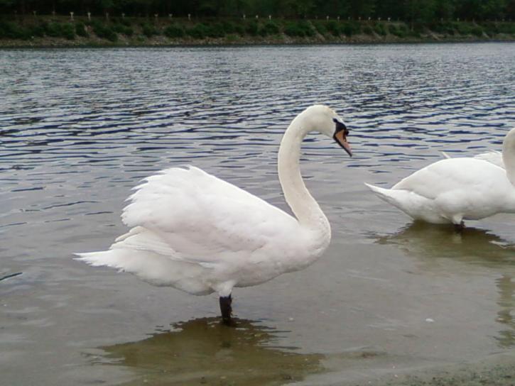 Swan, vakker, bakgrunn