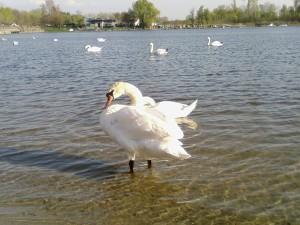 swan, birds