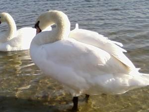swan, close
