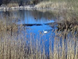 κύκνος, πουλιών, φύση, λίμνη, τοπίο