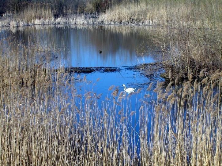 cygne, lac, oiseau, nature, paysage
