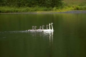 swan, pair, gygnets, pond