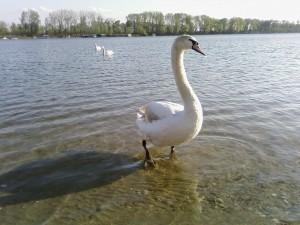 swan, standing, water