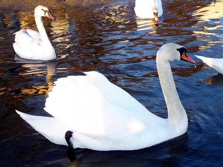 swan, white