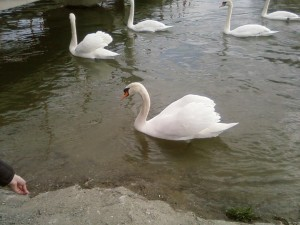cisnes, comming