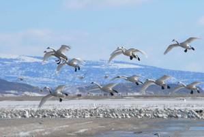 svaner, fly, vinter, migrering