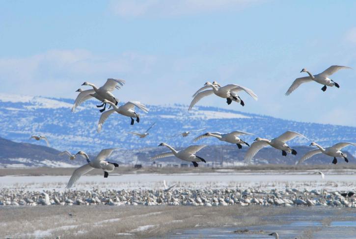 лебеди, полет, зима, миграция