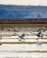 лебеди, полет, езеро