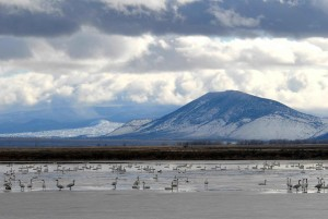 swans, wetlands, lake, migration, birds