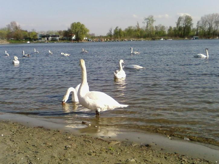 swans, lake