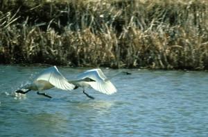 svaner landing, fugle, søen, natur