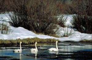 tre, svaner, cygnus buccinator, svømming, iskalde vannet, snø