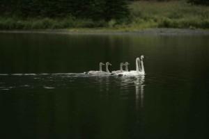pares, adultos, trompetista, cisnes, natación, pollos del cisne