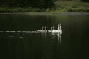 pair, adult, trumpeter, swans, swim, cygnets