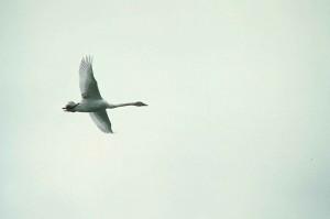 τρομπετίστας, κύκνος, υδρόβια πτηνά, πουλί, πτήση, κύκνος, buccinator
