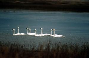 flock, tundra, swans, lake