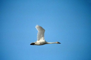 tundra, swan, flight, cygnus, columbianus