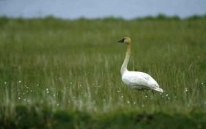tundra, swan, gree, field, grass, cygnus, columbianus