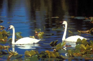 tundra, swan, pair, male, female, swimming, lake, cygnus, columbianus