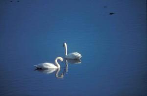 tundra, swans