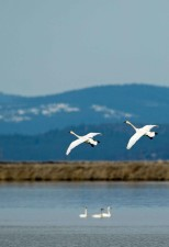 tundra, swans, cygnus, columbianus