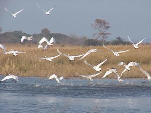 tundra, swans, flight