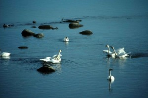 tundra, swans, water
